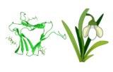 Galanthus nivalis (GNL/GNA)