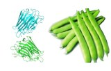 Phaseolus vulgaris (Kidney bean) Lectin (PHA-E+L)