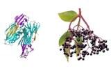Sambucus nigra (SNA/EBL I+II)