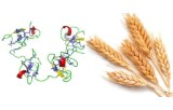 Triticum vulgaris (Wheat) (WGA)